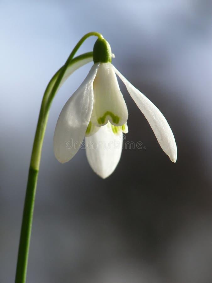 Wit sneeuwklokje stock foto