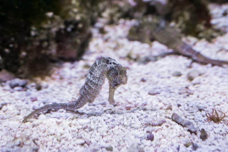Wit Sydney die seahorse over de bodem zwemmen en de grond, een tropisch aquariumhuisdier van Australië snuiven royalty-vrije stock foto