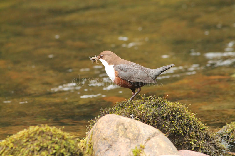 Wit-Throated Dipper royalty-vrije stock foto's