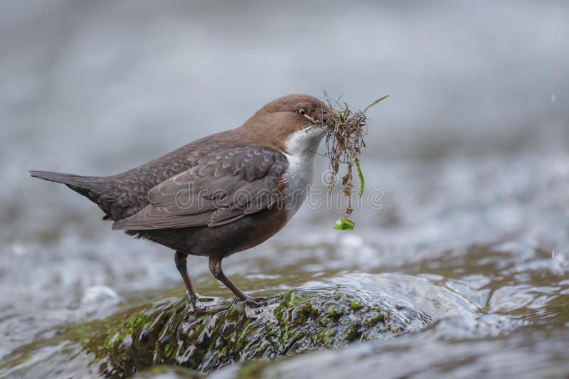 Wit-Throated Dipper royalty-vrije stock afbeelding