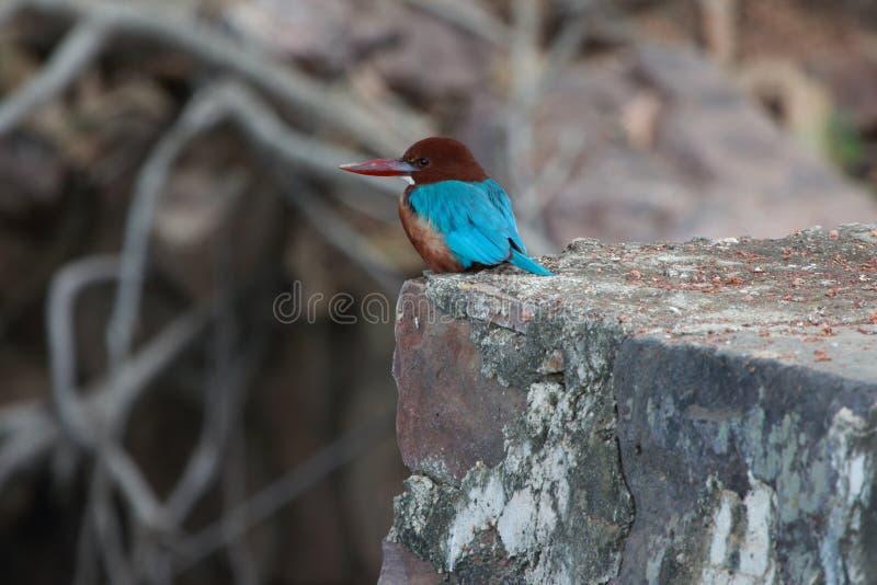 Wit-Throated ijsvogel (Ijsvogelsmyrnensis) royalty-vrije stock foto's