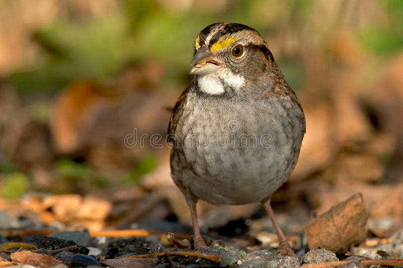 Wit-Throated Mus stock fotografie
