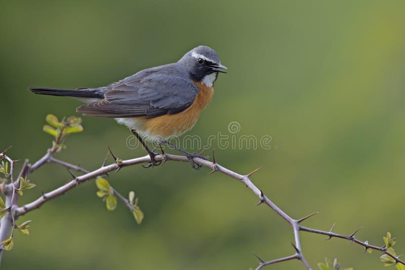 Wit-Throated Robin royalty-vrije stock afbeeldingen