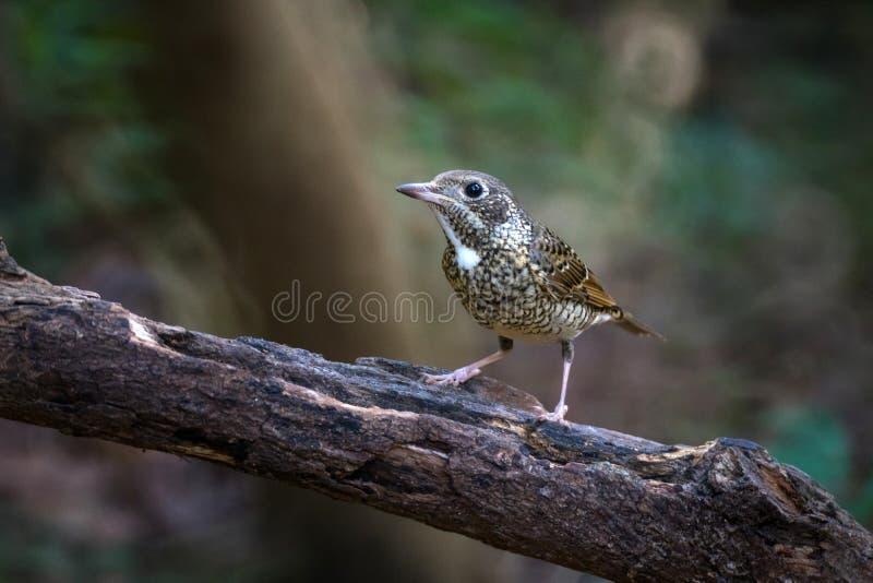 Wit-Throated rots-lijster vogel stock foto's