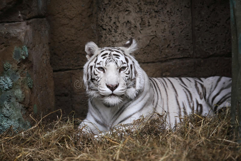 Wit Tiger In Zoo stock afbeelding