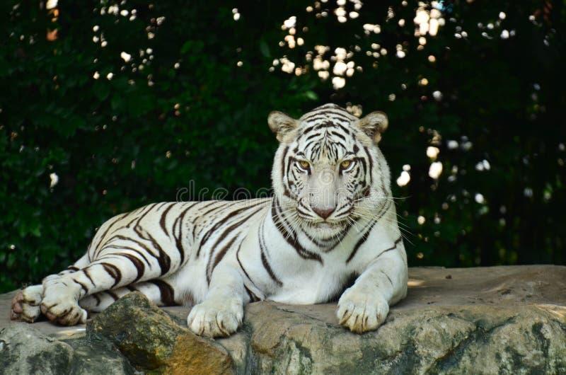 Wit tijgerverblijf op de rots royalty-vrije stock foto's