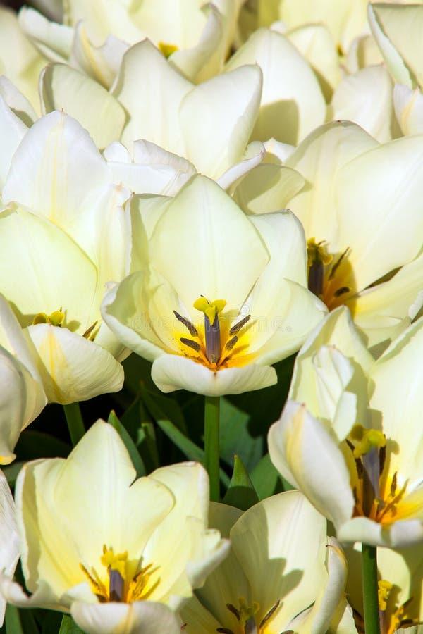 Wit tulpendetail royalty-vrije stock afbeeldingen