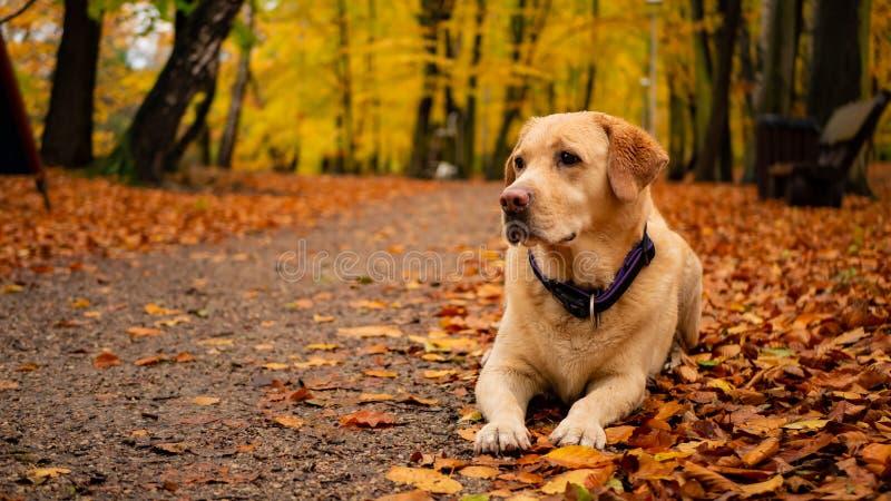 Wit volwassen labrador retriever op de bladeren in de herfstpark stock afbeelding