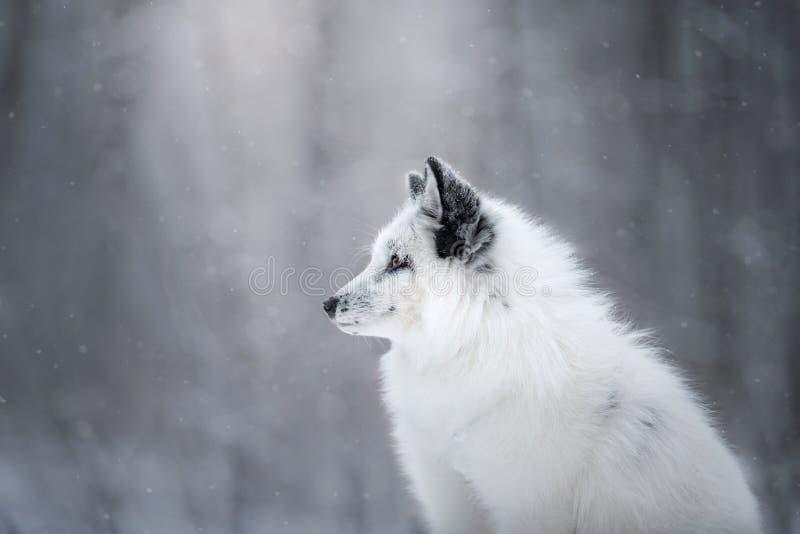 Wit vosbont in de sneeuw in de winter stock foto
