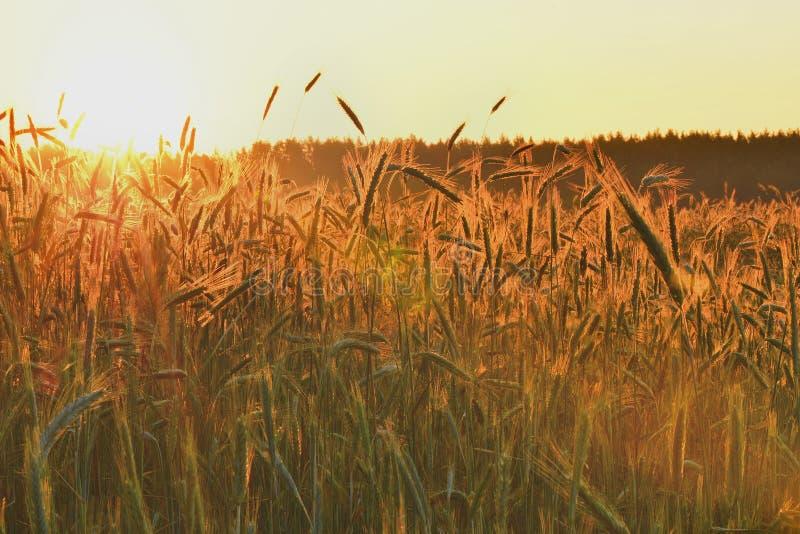 Download Świt w pszenicznym polu obraz stock. Obraz złożonej z trawy - 41953919