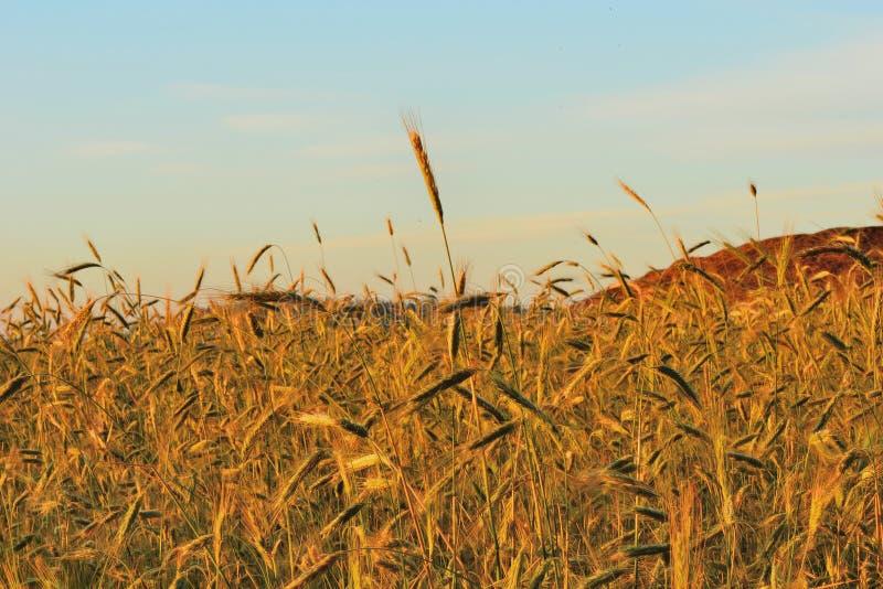 Download ?wit w pszenicznym polu zdjęcie stock. Obraz złożonej z rośliny - 41954698