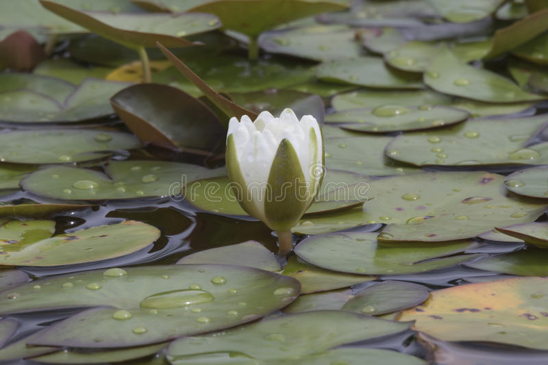 Wit waterlily op water royalty-vrije stock fotografie