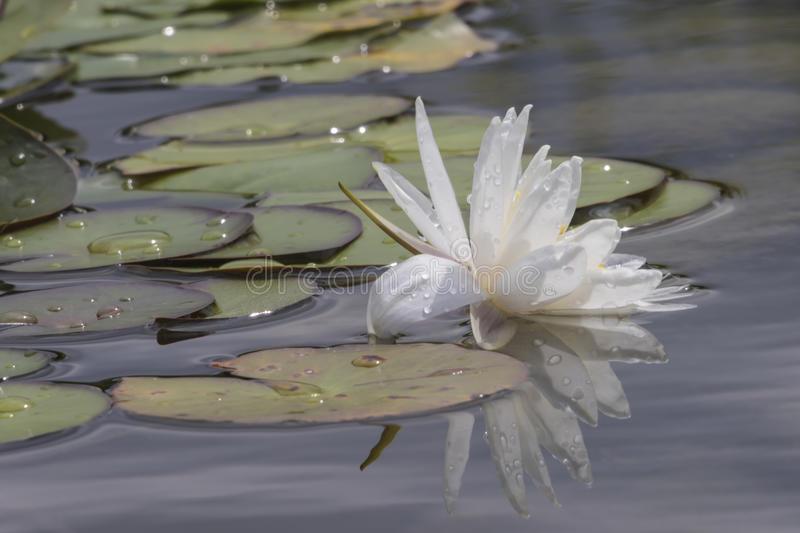 Wit waterlily op water stock foto's