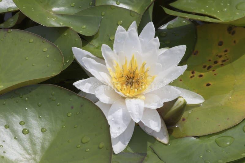 Wit waterlily op water stock afbeelding