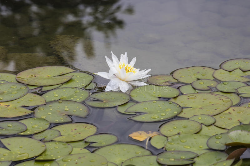 Wit waterlily op water stock foto