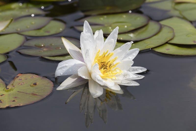 Wit waterlily op water stock afbeeldingen