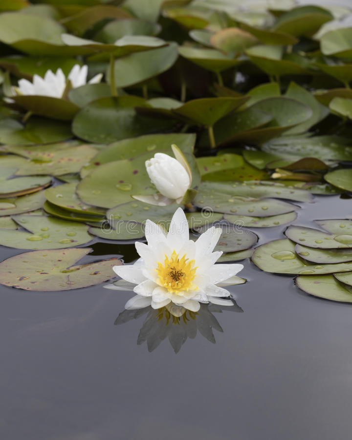 Wit waterlily op water royalty-vrije stock fotografie
