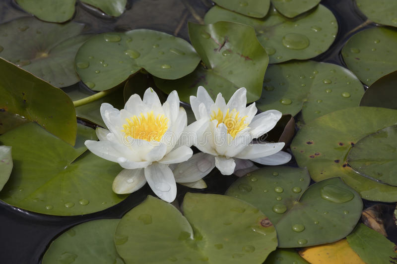 Wit waterlily op water stock fotografie