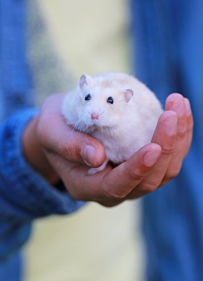 wit weinig in hand hamster stock afbeeldingen
