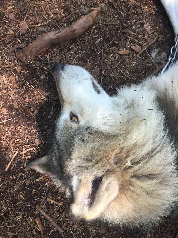 Wit Wolfsgezicht die op de weg rusten stock foto