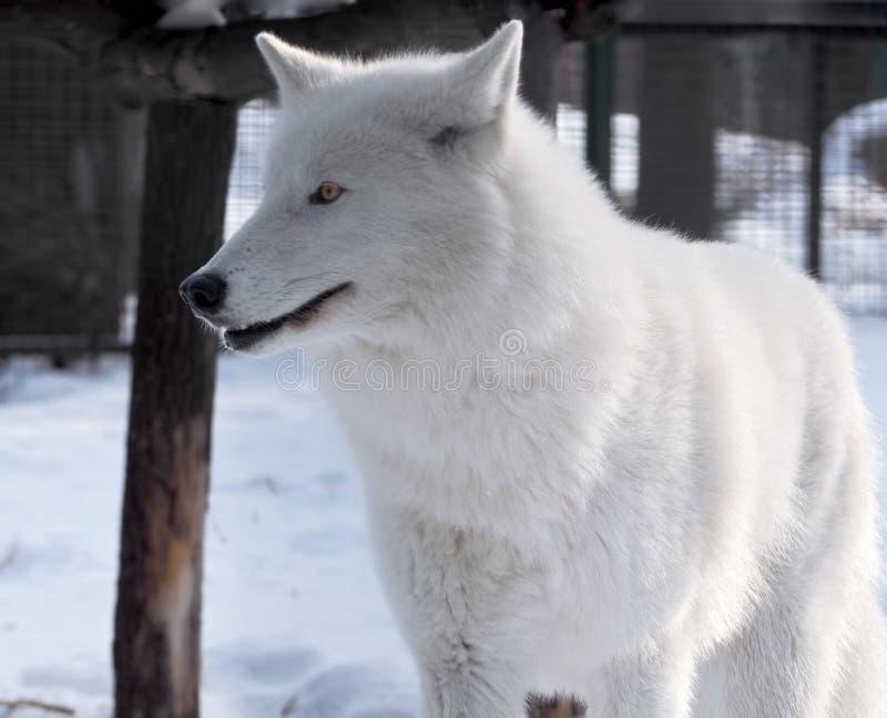 Wit wolfsportret bij sneeuw royalty-vrije stock foto