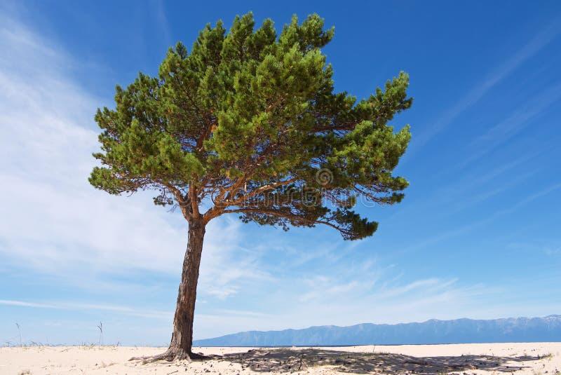 Wit zandig lakeshorelandschap met eenzame groene pijnboom stock foto's