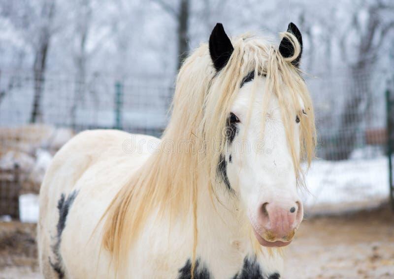 Wit zigeunerpaard bij dierentuin stock fotografie