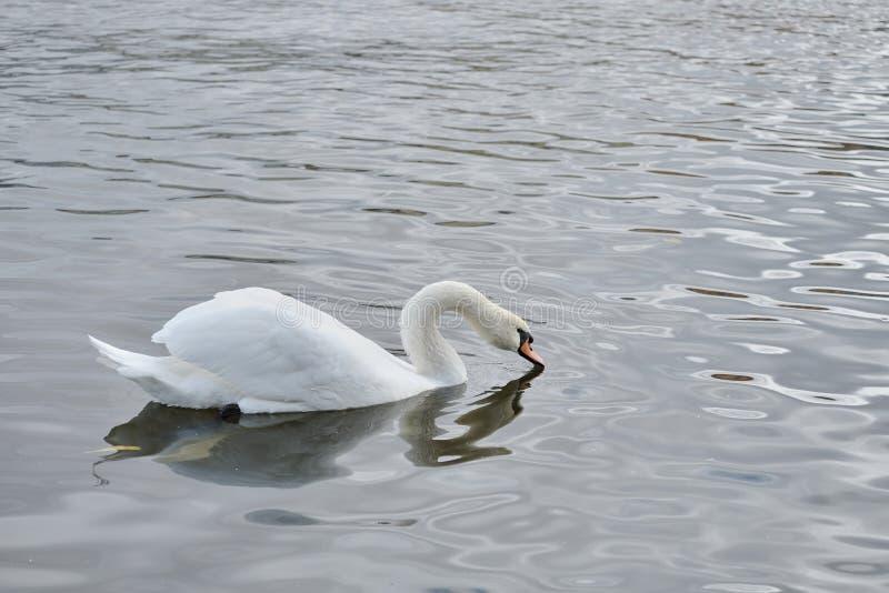 Wit Zwaan drinkwater van een rivier royalty-vrije stock afbeeldingen