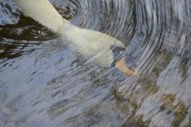 Wit zwaanhoofd onder water cirkel van water royalty-vrije stock foto