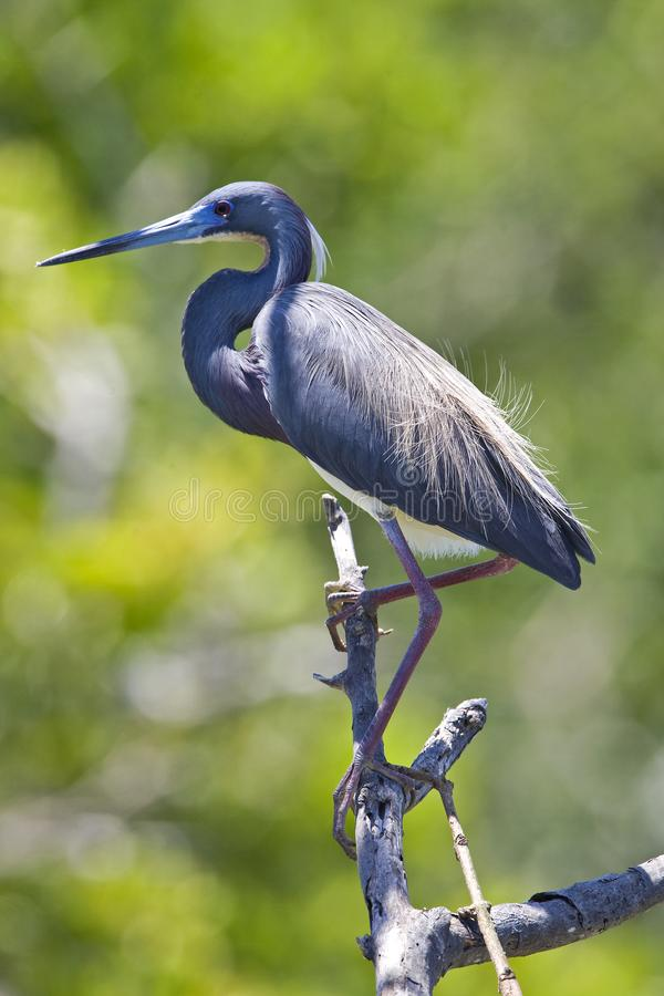 Witbuikreiger, Tricolored Heron, Egretta tricolor. Witbuikreiger staand op tak Mexico, Tricolored Heron perched at branch Mexico royalty free stock images