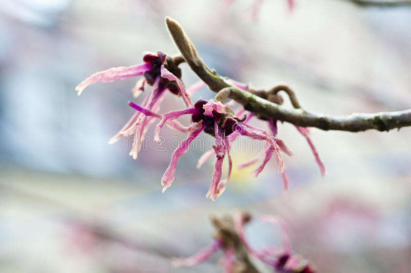 Witch Hazel stock image