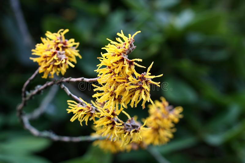 Witch hazel in bloom stock photos