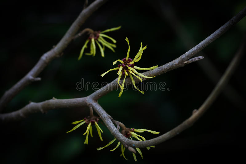 Witch hazel. Yellow Witch hazel on a branch against a dark background royalty free stock photos