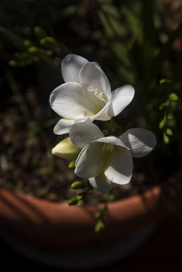 Wite freesia i trädgården fotografering för bildbyråer