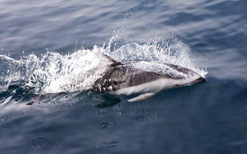 Witgestreepte Dolfijn, delfín Blanco-echado a un lado pacífico, Lagenorhynch imagenes de archivo