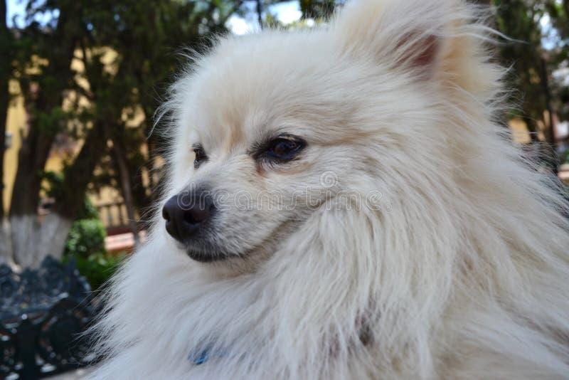 Withe Pomeranian stock photos
