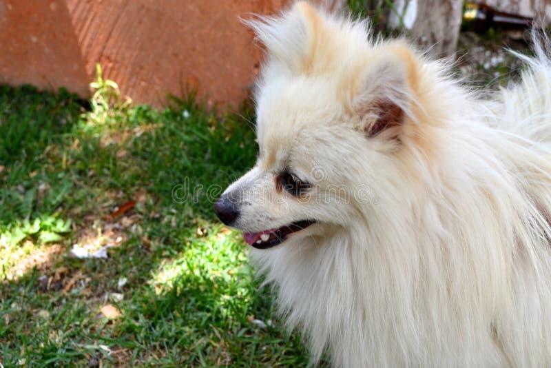 Withe Pomeranian royalty free stock image