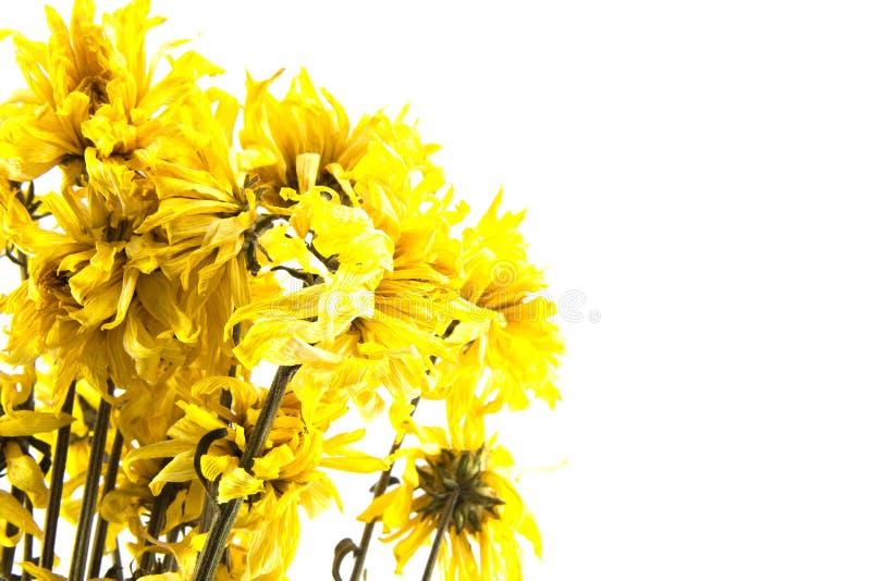 Wither-Gelbchrysanthemenblume auf weißem Hintergrund lizenzfreies stockbild