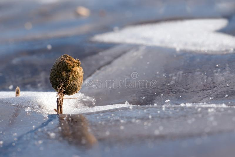 Wither plant like tree with snow heart on Baikal ice, macro. Wither plant like tree with snow heart on Baikal ice , macro-landscape, macro photography royalty free stock photo