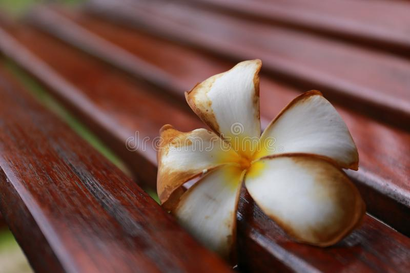 A lonely flora. Wither Plumeria flower drop on the wood bench royalty free stock photos