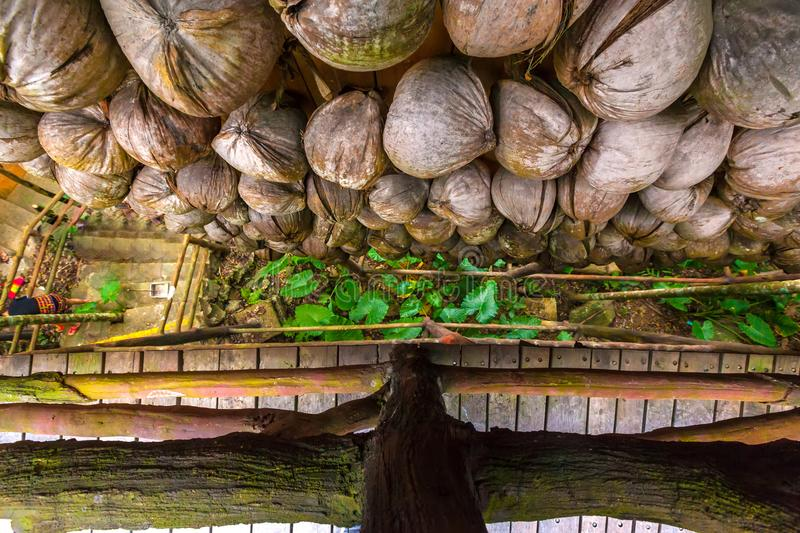 Withered coconuts on the wall, top view. Sanya Li and Miao Villa. The jungle is the most interesting thing that there is on the Sanya island for the traveler royalty free stock images
