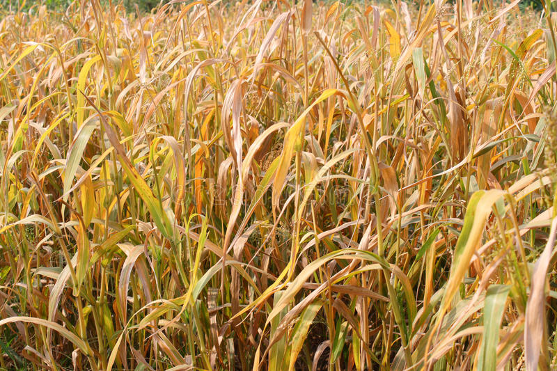 Withered crops royalty free stock photography