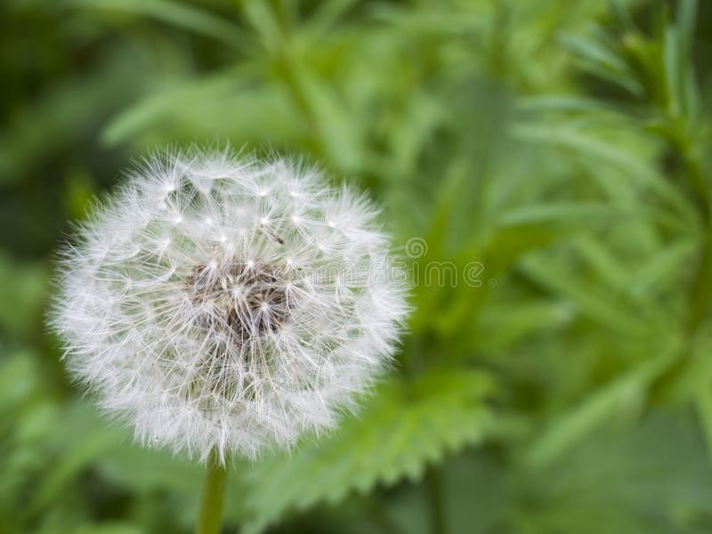 Withered dandelion with seeds, blowball on green bokeh background. taraxacum officinale, spring flower, close up, macro stock images
