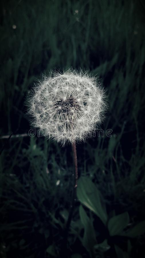 Withered Dandelion stock images