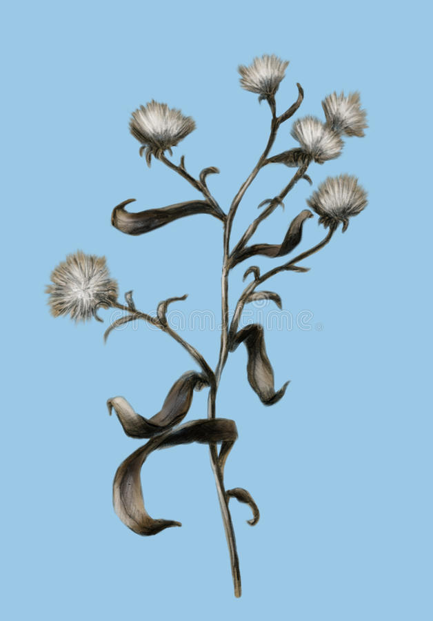 Download Withered Field Flower - Sketch Stock Illustration - Image: 13843178