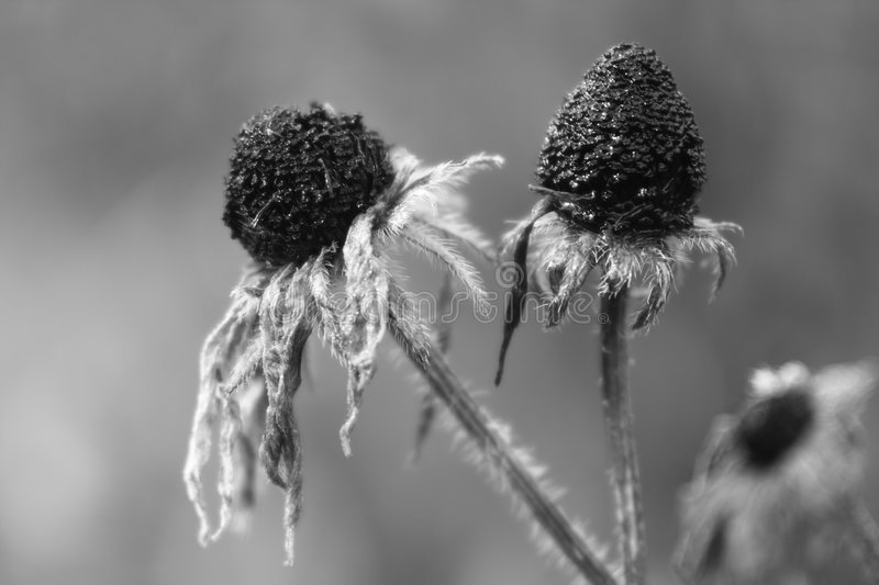 Download Withered flowers stock image. Image of melancholic, greyscale - 3519401
