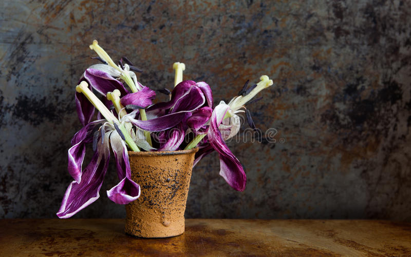 Withered fully opened violet flowers after blooms. Beautiful tulip petals pistils stamen seeds vintage brown bucket. Rusty wall background. Dried plants still stock photo