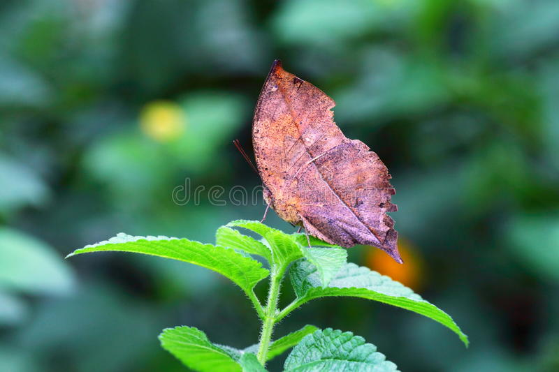 Withered leaf butterfly royalty free stock photography