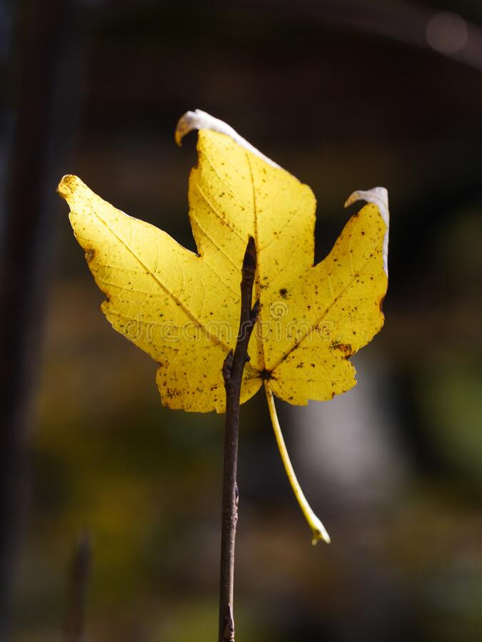 Withered leaf on a twig, symbol of autumn stock photography