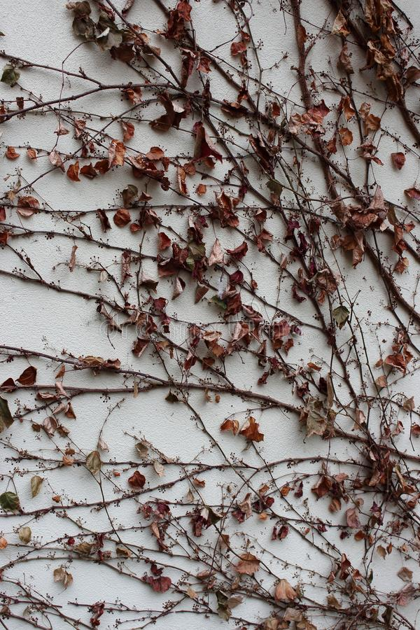 Withered leaves on dry ivy branches along wall. Dry plant background. stock photo